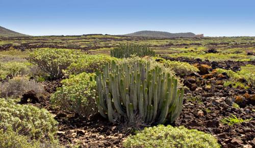 Zona baja o de matorral costero naturaleza gevic for Pisos de vegetacion canarias