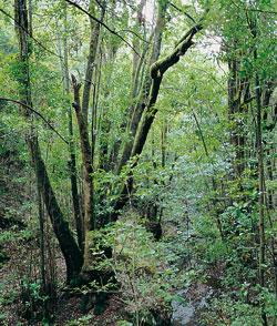 Zona de bosque del monteverde naturaleza gevic gran for Pisos de vegetacion canarias